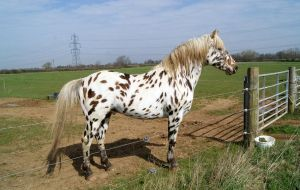 Appaloosa Stock 03 by candigal
