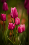Purple Tulips by Padawancats