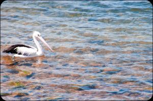 Pelican 2 by tspargo-photography