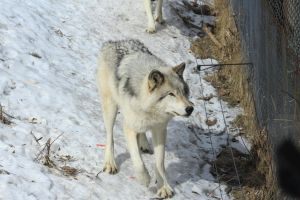 Wolf Stock Ecomuseum 50 by wolf-alchemy