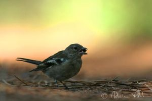 chaffinch lunch by Fresnay
