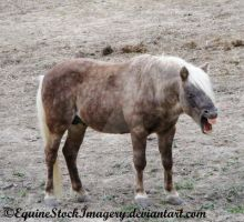 Shetland-Welsh X 10 by EquineStockImagery