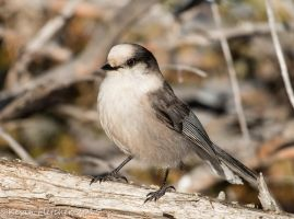Gray Jay 02 February 22 2015 by sgt-slaughter