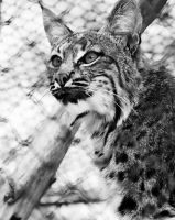 Lynx by deliquescing