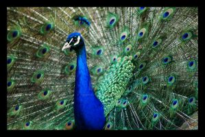 Peacock II by CarpeNoctemPhoto