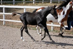 Black Warmblood Foal 010 by Notorious-Stock