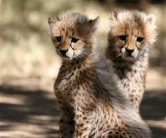 Cheetah Kittens by FSGPhotography