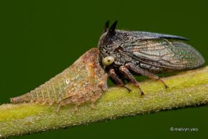 Treehopper and Nymph by melvynyeo