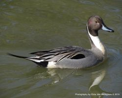 Beaded Northern Pintail Reflection by vanwaglajam