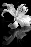 White Lily by lils23