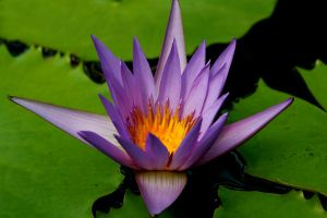 Water Lily by Applemac12