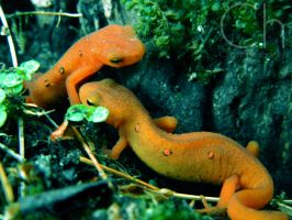 Newt 2 by Champineography