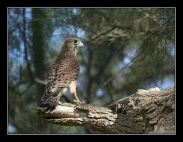 Lasser Kestrel - Falco naumann by invisiblewl