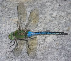 dragonfly by mandykat