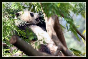 Little Panda Tongue by shutterbugmom