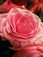Pink Rose II by looking-for-hope