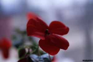 Red Flower Macro shot by ANTIDESIGNs