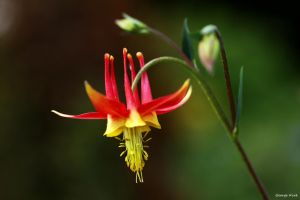 Aquilegia Tequila Sunrise by George---Kirk