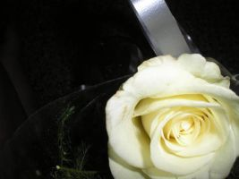 The China White Rose by coldkisses