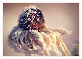 Dried Echinacea head. by Dan52T