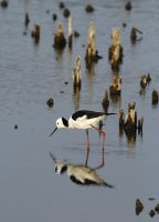 Black Wing Stilt by bleu3t