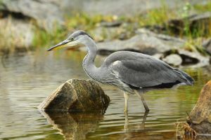 Grey Heron by janernn