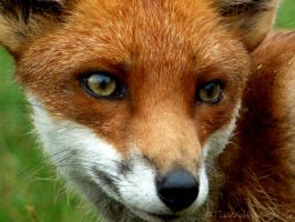 Vulpes vulpes by TheWolfWithinMe