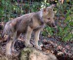 Gray Wolf Stock 35: Wolf Pup by HOTNStock