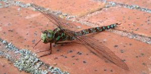 Colorful dragonfly by Ripplin