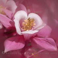 Columbine _ Pink by SharonLeggDigitalArt
