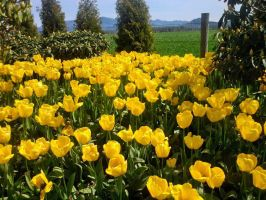 Yellow tulips by sonire
