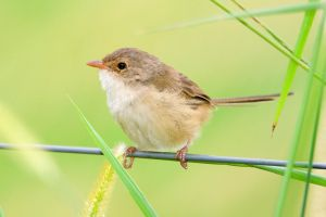 Red-backed Fairywren (F) by strictfunctor