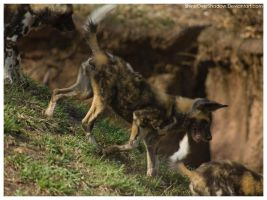 African Wild Dog - Pups 031 by ShineOverShadow