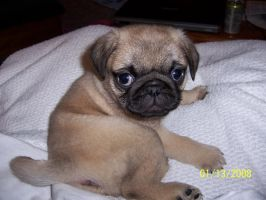 pug puppy by Monkey-Cheese