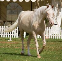 STOCK - TotR Arabians 2013-60 by fillyrox