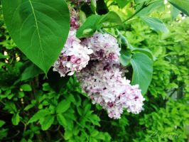 Lilacs by Loulou13