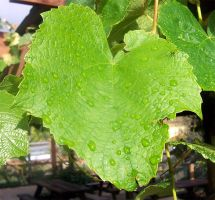 Grape Vine Leaf by Mountaineer47
