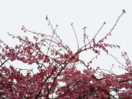 Cherry Blossom by frightstock