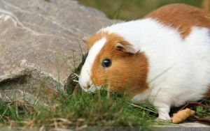Guinea Pig by cluster5020
