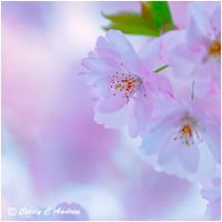 Sakura Dream by CecilyAndreuArtwork