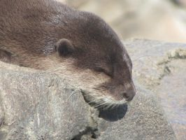 Otter, National Zoo by sanglante-melodie