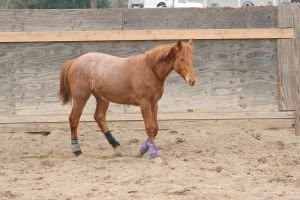 Yearling Red Roan Quarter Horse Gelding by HorseStockPhotos