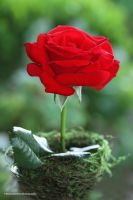 A Beautiful Red Garden Rose by theresahelmer