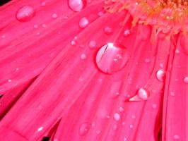 Raindrops on Flowerpetals by rickyc717