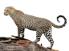 Jaguar PNG Stock 2 (2-3) by Gilgamesh-Art