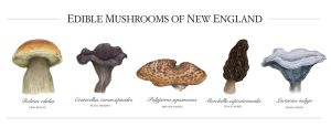Edible Mushrooms of New England by aljanny