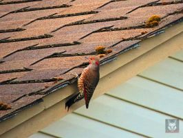 Flicker Hanging Off Roof by wolfwings1