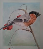 Bullfinch watercolour by BecciES