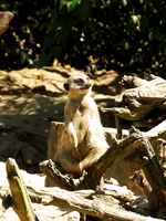 39. meerkat by littleconfusion