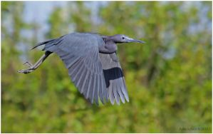 Little Blue Heron by Ryser915